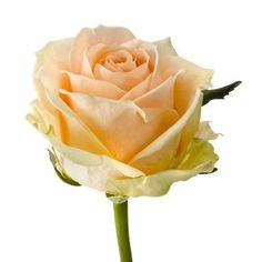 Pearl Avalanche Roses are salmon & usually available all year round. 50cm stem lengths this wholesale cut flower is wholesaled in 20 stem wraps.