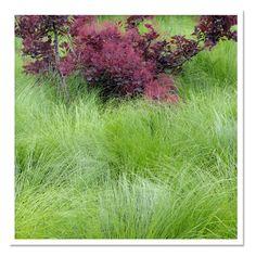 Sporobolus-heterolepis-Prairie-Dropseed-Grass-landscape.