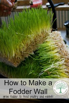 Growing fodder is a cheap way to feed your poultry and rabbits year round. You can expand it to a full wall with this easy DIY tutorial! The Homesteading Hippy