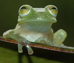 Venezuelan Glass Frog (Cochranella helenae) ~photo by César L. Barrios-Amorós