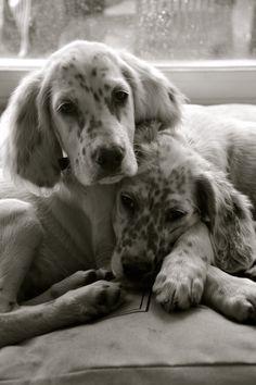 English Setter Pups ~ Classic Look