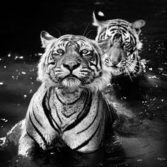 9f9b8098ebb2 Credit  David Yarrow Photography There are only Royal Bengal tigers left in  India. Some people call images like these earth porn