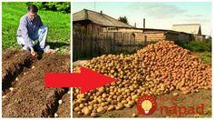 Mnohí si myslia, že sadiť zemiaky koncom leta je bláznovstvo, no vôbec tomu nie je tak. My sa chystáme sadiť túto sobotu a nie je to žiaden pokus. Takto sadíme každý rok, približne v polovici augusta. Sadíme klasicky do zeme, do riadkov po cibuli, takto sme zvyknutí robiť to roky. A vždy máme bohatú úrodu,... Dog Food Recipes, Pergola, Bending, Hydroponics, Dog Recipes, Arbors