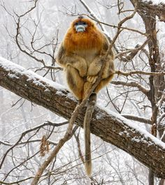 Golden Snub-nosed Monkey, Rhinopithecus roxellana, Qinling Mountains, Shaanxi Province, China