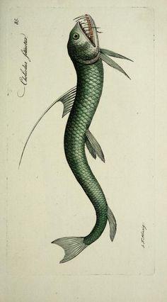 [Atlas] - M.E. Blochii ... Systema ichthyologiae iconibus CX illustratum / - Biodiversity Heritage Library