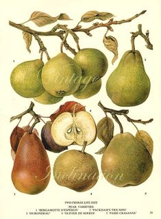Vintage Botanical Print Antique PEAR by VintageInclination on Etsy, $12.98