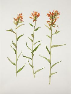 Drawing of Indian Paintbrush | botanical