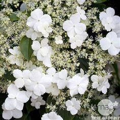 Hydrangea petiolaris : ctr de 3 litres