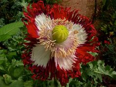 Opium Poppy 'Danish Flag' or Dannebrog (Somniferum). It is called danish flag or danebrog because the colors resemble (with red and white cross) the danish flag. Unusual Flowers, Unusual Plants, Exotic Plants, Amazing Flowers, My Flower, Colorful Flowers, Flower Power, Beautiful Flowers, Flowers Nature