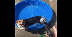 This corgi just wants to play in the pool, but the garden hose keeps getting in the way.
