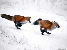 Animals March Madness, Round One: Armadillos Vs. Foxes