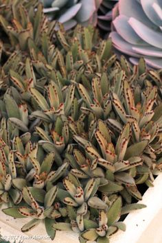 """Kalanchoe tomentosa 'Chocolate"""" Succulent Plants, Planting Succulents, Cacti, Floral Style, Natural, Green Beans, Lush, Greenery, Chocolate"""
