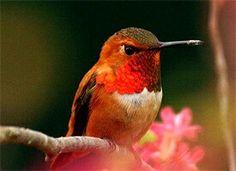 El nombre colibrí o zunzún (Hummingbird en ingles) viene del hecho de que estas aves emiten un zumbido con sus alas cuando están en movimiento.