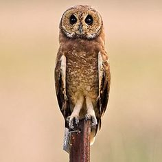 Marsh Owl Asio capensis - Google Search