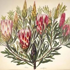 Sugar-bush - Protea mellifera - Flowers are loaded with nectar and a favorite of the Sugar-bird - The crimson and white cups are not calyces, but involucres, containing a great many tubular flowers, densely packed to together. Native to South Africa. Author unknown. 1849.