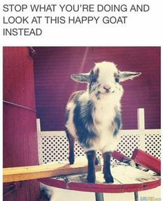 Look at this happy goat!