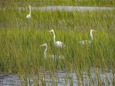 Great egrets are a common sight along the lowcountry.