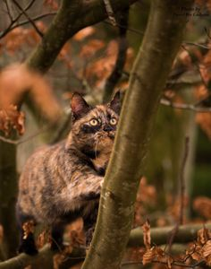 tortoise shell kitty in autumn colors Tortoise Care, Tortoise Shell, I Love Cats, Cool Cats, 12 Week Old Kitten, Gato Calico, Calico Cats, Kittens Cutest, Cats And Kittens