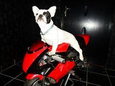 Tyson, the french bulldog