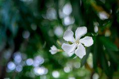 https://flic.kr/p/uAxApa | Flower of Oleander | 夾竹桃の花