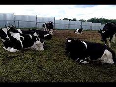 Племенной крупно рогатый скот Молочные породы КРС  телки пред случного возраста  продажа 8965617005