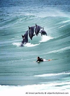 Dolphins near a surfer – A really close encounter on the waves. It is a nice sight to see even at close range.