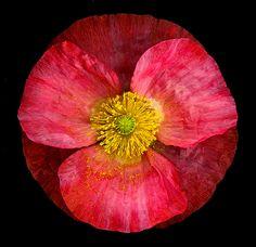 Shirley Poppy [Papaver rhoeas; Family: Papaveraceae]