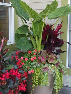 Summer Annual Flowers Planter Alocasia, Dragon Wing Begonia, Lysamachia, Caladium, Impatiens. Garden Design. www.sarahscottagecreations.com