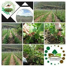 Aplicacion de TerreOrganics en cultivos de Habichuelas , aumento de productividad y biorremediacion de suelos. Contáctenos para brindarle asesoría sobre el producto, usos y beneficios. 100% orgánico, sin químicos, no tóxico, amigable con el medio ambiente y la vida🌎 Alimentación orgánica y saludable💯✔.