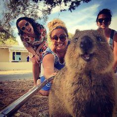 インスタグラム(Instagram)などでハッシュタグ「#quokkaselfie」を検索すると、人と一緒に写真に写っているかわいらしい動物の写真がたくさん出てきます。まるで自撮りのようにその写真たちに写っているのは、クアッカワラビーという動物。 クアッカワラビーとは一体どんな動物なのでしょうか?癒
