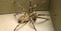 Vorsicht! Diese Riesen-Spinne beißt und verbreitet sich jetzt auch in der Stadt