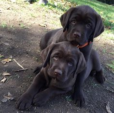 This is why I should have gotten two chocolate labs Black Lab Puppies, Cute Puppies, Cute Dogs, Dogs And Puppies, Chocolate Labrador Retriever, Labrador Retrievers, Big Dogs, I Love Dogs, Beautiful Dogs
