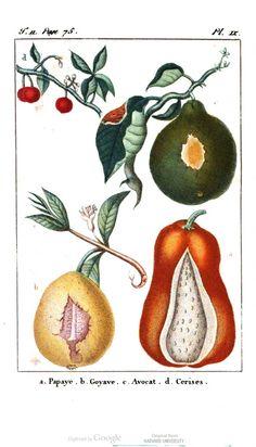 Papaya, guava, avocado & cherries. Voyages d'un Naturaliste, et ses Observations Faites sur les Trois Regnes de la Nature, Vol 2, by M. E. Descourtilz.