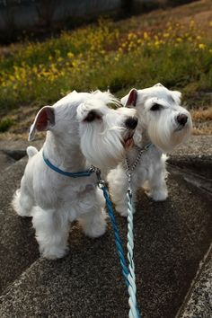 Two sweet and beautiful White mini Schnauzers