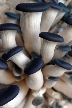 Blue Oyster Mushroom Development - Photos of growth and development of blue oyster mushrooms. Enjoy watching delicious Blue Oyster mushrooms grow in your own classroom, home or office. Growing Mushrooms, Wild Mushrooms, Stuffed Mushrooms, Plant Fungus, Edible Mushrooms, Mushroom Fungi, Mushroom Seeds, Mushroom Species, Pink Mushroom