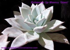 http://www.echeveriasinoz.com   Mexican Giant