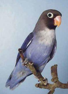 violet fischer lovebird | Black Masked Love Bird