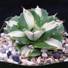 This plant comes in a 3 1/4 inch pot You will receive a very similar plant to the one on the picture. It may or may not be blooming at the time of your purchase. this plant is shipped in its pot to pr
