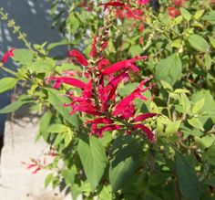 Pineapple Sage (Salvia elegans). Attracts hummingbirds like crazy! Awesome plants and herb for the garden, a must have