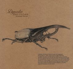 Dynastes Hercules (Escarabajo Hércules) - Daniel C...