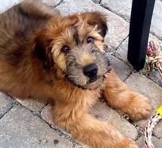 Soft Coated Wheaten Terrier puppy ... Mowglie!