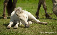 Norwegian Fjord foal