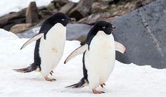 Pygoscelis adeliae / Adelie Penguin /  アデリーペンギン
