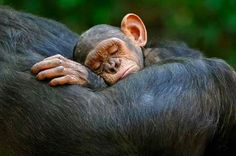 Baby chimp sleeping