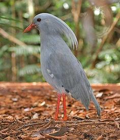 Kagu, a bird in its own unique family is almost flightless spending almost all it's time on the ground.
