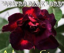 Adenium Obesum 'Quattro Dark Lord' (5 Seeds)