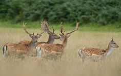 Fallow Deer W. are we going to raise these kind of deer when we get a Ranch someday? Deer Species, Fallow Deer, Red Deer, Wild Life, Animal Kingdom, Animals And Pets, Raising, Woodland, Bucket