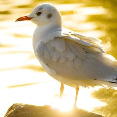 アンクレットつけたユリカモメさん  #アンクレット#anklet #ゆりかもめ#blackheadedgull #水鳥#野鳥#Wildbird#bird#birdwatching #動物#animal #風景#自然#景色#picture#landscape#nature #東京#日本#tokyo#japan#love#loves_nippon #写真好きの人と繋がりたい