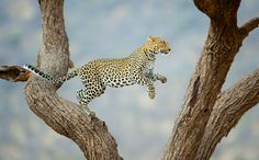 National Geographic Traveler Photo Contest 2012 - In Focus - The Atlantic  African leopard jumping in a tree in the Samburu National Reserve in Kenya. (© Juan Hernandez/National Geographic Traveler Photo Contest)