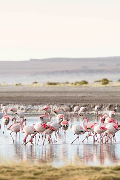 A flock of James's flamingos feeds on tiny organisms in the Salar de Tara wetland on the edge of Chile's Atacama desert. They share the nature reserve with the related Andean and Chilean flamingoes // photo by Philip Lee Harvey #chile #atacama #flamingo